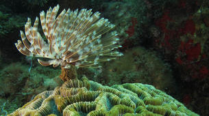 Plongée sous-marine-Réserve Cousteau-Plongées Exploration Guidées ou Autonomes à Basse-Terre, Guadeloupe-2