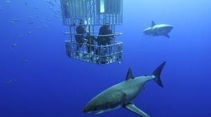 Plongée avec les Requins-Gansbaai-Cage diving with the great white shark in Gansbaai-9