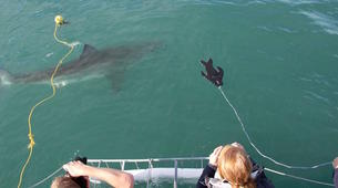 Plongée avec les Requins-Gansbaai-Cage diving with the great white shark in Gansbaai-4