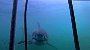 Plongée avec les Requins-Gansbaai-Cage diving with the great white shark in Gansbaai-2