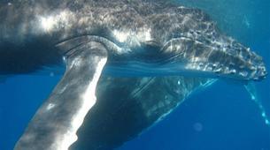 Scuba Diving-Moorea-Guided adventure dives in Mo'orea-6