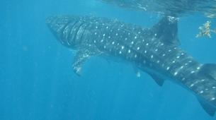 Snorkeling-La Paz-Whale shark snorkeling excursion in Playa del Carmen-4