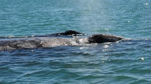 Wildlife Experiences-La Paz-Humpback whale watching in La Paz-4