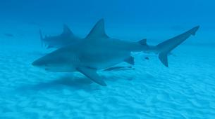 Shark Diving-Playa del Carmen-Bull shark diving excursion in Playa del Carmen-5
