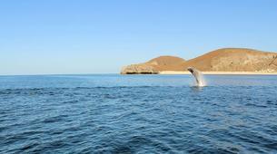 Wildlife Experiences-La Paz-Humpback whale watching in La Paz-2