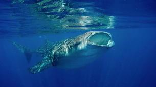 Shark Diving-Playa del Carmen-Whale shark snorkelling excursion in Playa del Carmen-5