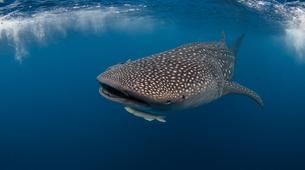 Snorkeling-La Paz-Whale shark snorkeling excursion in Playa del Carmen-3