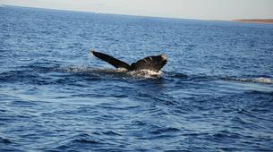 Wildlife Experiences-La Paz-Humpback whale watching in La Paz-3
