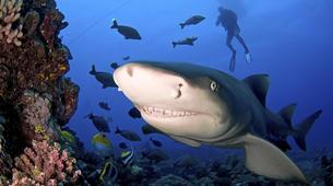 Plongée avec les Requins-Moorea-Expédition Requins-Citron à Moorea-2