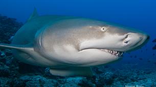 Plongée avec les Requins-Moorea-Expédition Requins-Citron à Moorea-5