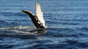 Wildlife Experiences-La Paz-Humpback whale watching in La Paz-5