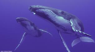 Plongée avec les Requins-Moorea-Expédition Requins-Citron à Moorea-6