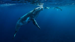 Snorkeling-Moorea-Private Humpback whale expedition in Moorea-2