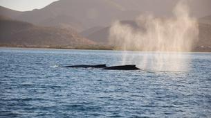 Wildlife Experiences-La Paz-Humpback whale watching in La Paz-1