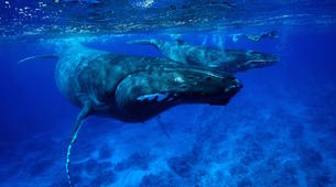 Snorkeling-Moorea-Private Humpback whale expedition in Moorea-1