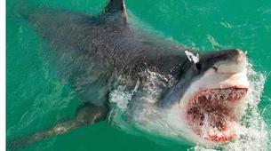 Shark Diving-Gansbaai-Cage diving with great white sharks in Gansbaai-1