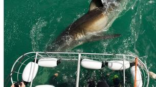 Shark Diving-Gansbaai-Cage diving with great white sharks in Gansbaai-4