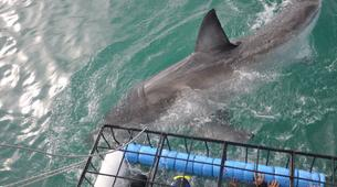 Plongée avec les Requins-Gansbaai-Cage diving with the great white sharks in Gansbaai-2