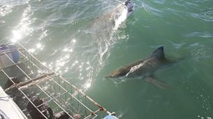 Shark Diving-Mossel Bay-White shark cage diving in Mossel Bay-6