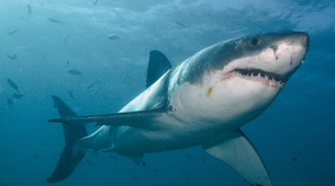 Plongée avec les Requins-Gansbaai-Cage diving with the great white sharks in Gansbaai-1