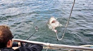 Shark Diving-Mossel Bay-White shark cage diving in Mossel Bay-2