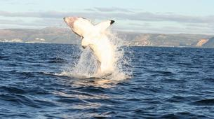 Plongée avec les Requins-Gansbaai-Cage diving with great white sharks, Gansbaai-1