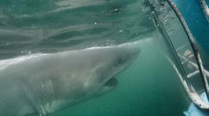 Shark Diving-Mossel Bay-White shark cage diving in Mossel Bay-4