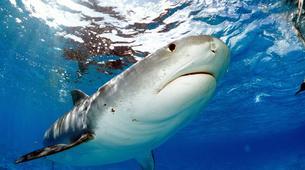 Shark Diving-Durban-Tiger shark diving excursion near Durban-4