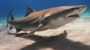 Shark Diving-Durban-Raggie diving excursion in Kwazulu Natal-1