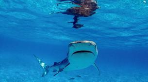 Shark Diving-Durban-Tiger shark diving excursion near Durban-1