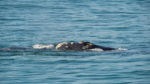 Experiences Wildlife-Kogelberg Nature Reserve-Southern right whale watching in Walker Bay-4