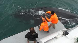 Experiences Wildlife-Kogelberg Nature Reserve-Southern right whale watching in Walker Bay-6