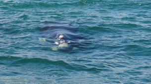 Experiences Wildlife-Kogelberg Nature Reserve-Southern right whale watching in Walker Bay-5