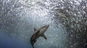 Experiences Wildlife-Mbotyi-Sardine run in Mboyti near Durban-3