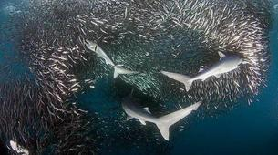 Wildlife Experiences-Mbotyi-Sardine run in Mboyti near Durban-6