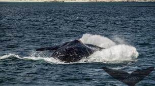 Experiences Wildlife-Gansbaai-Whale watching excursion from Gansbaai-4