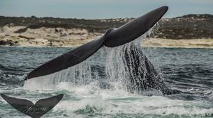 Experiences Wildlife-Gansbaai-Whale watching excursion from Gansbaai-6