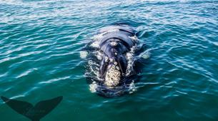 Experiences Wildlife-Gansbaai-Whale watching excursion from Gansbaai-2