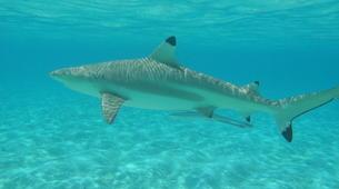 Snorkeling-Bora Bora-Snorkeling sur l'île de Bora Bora-10