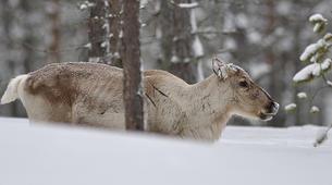 Dog sledding-Luleå-8D/7N Dog sledding and snowshoeing raid in swedish Lapland-6