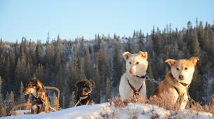 Dog sledding-Trondheim-Mushing excursions in Koppera near Trondheim-3
