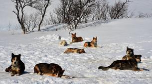 Dog sledding-Trondheim-2 day mushing excursion in Koppera near Trondheim-9