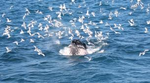Wildlife Experiences-Reykjavik-Whale watching excursion from Reykjavik-3