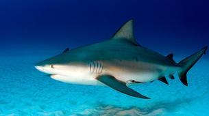 Scuba Diving-Tamarindo-Diving with bull sharks at Islas Murcielago from Tamarindo-3