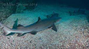 Scuba Diving-Tamarindo-Diving with bull sharks at Islas Murcielago from Tamarindo-4