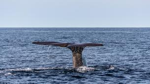 Wildlife Experiences-Terceira-Whale watching from Angra do Heroísmo in Terceira Island-4