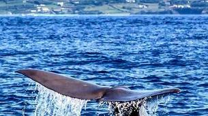 Wildlife Experiences-Terceira-Whale watching from Angra do Heroísmo in Terceira Island-2
