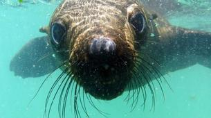 Snorkeling-Plettenberg Bay-Swimming with seals in Robberg Nature Reserve-6