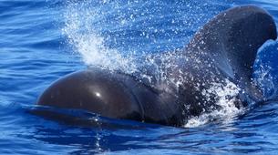 Experiences Wildlife-Los Gigantes, Tenerife-Whale watching tour from Los Gigantes, Tenerife-5
