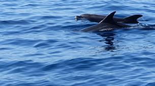 Experiences Wildlife-Los Gigantes, Tenerife-Whale watching tour from Los Gigantes, Tenerife-11